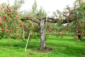 変なリンゴの木